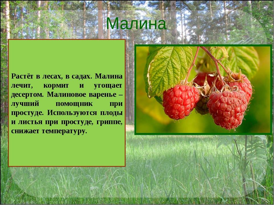 Малина Растёт в лесах, в садах. Малина лечит, кормит и угощает десертом. Мали...
