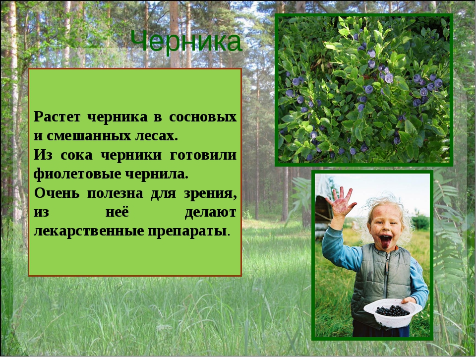 Черника Растет черника в сосновых и смешанных лесах. Из сока черники готовили...