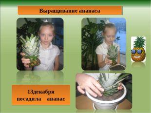 13декабря посадила ананас Выращивание ананаса