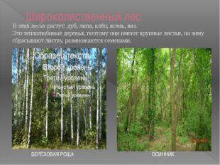 Растения широколиственных лесов. ДУБ. Можно узнать по могучему стволу и резны
