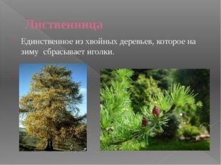 Широколиственный лес БЕРЁЗОВАЯ РОЩА ОСИННИК В этих лесах растут: дуб, липа, к