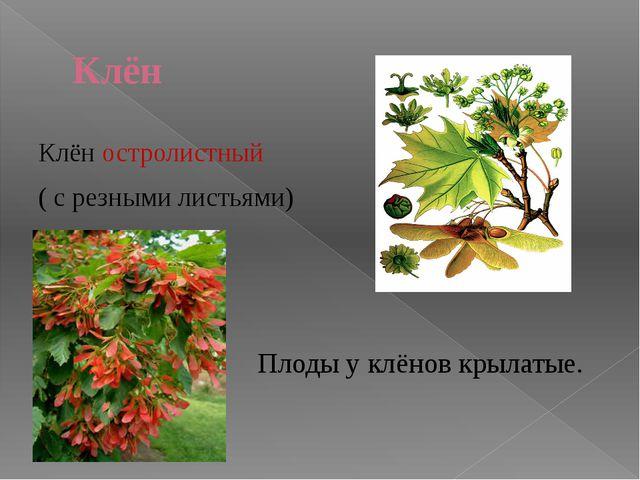 дуб Растения смешанных лесов. ольха