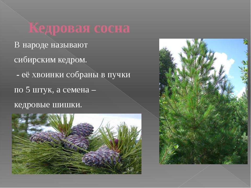Вяз Можно узнать по листьям и плодам: листья «кособокие», одна половина больш...
