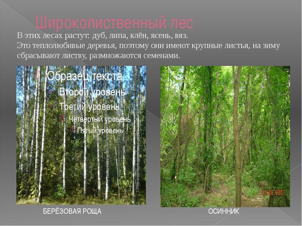 Растения широколиственных лесов. ДУБ. Можно узнать по могучему стволу и резны...