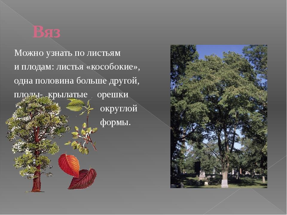 Клён Клён остролистный ( с резными листьями) Плоды у клёнов крылатые.