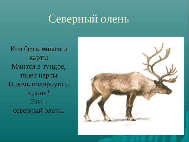 Северный олень Кто без компаса и карты Мчится в тундре, тянет нарты В ночь по...