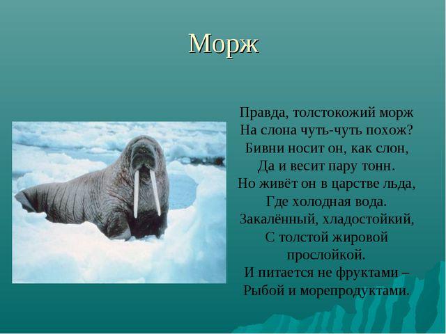 Морж Правда, толстокожий морж На слона чуть-чуть похож? Бивни носит он, как с...