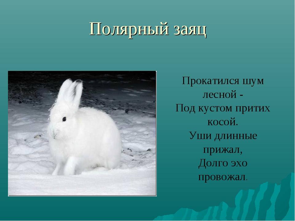 Полярный заяц Прокатился шум лесной - Под кустом притих косой. Уши длинные пр...