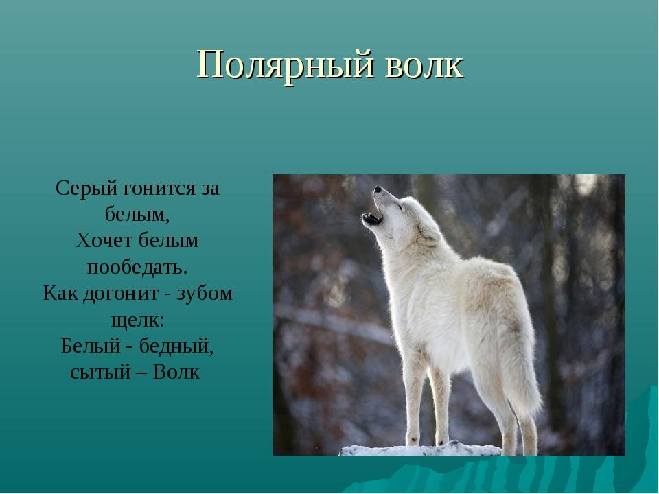 Полярный волк Серый гонится за белым, Хочет белым пообедать. Как догонит - зу...