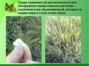 Среди травянистой растительности мы обнаружили лекарственное растение – тысяч