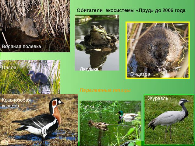 Обитатели экосистемы «Пруд» до 2006 года Водяная полевка Лягушка Перелетные п...