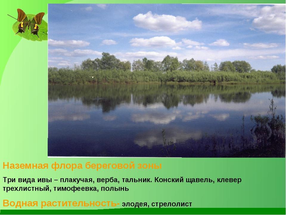Наземная флора береговой зоны Три вида ивы – плакучая, верба, тальник. Конски...