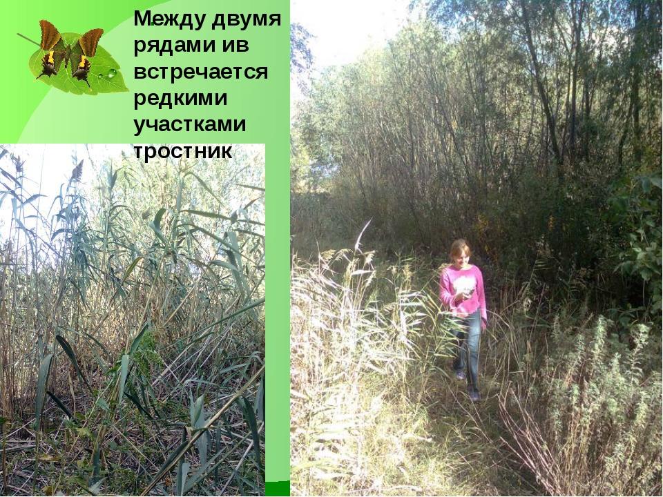 . Между двумя рядами ив встречается редкими участками тростник