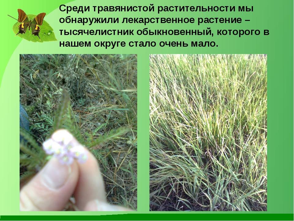Среди травянистой растительности мы обнаружили лекарственное растение – тысяч...