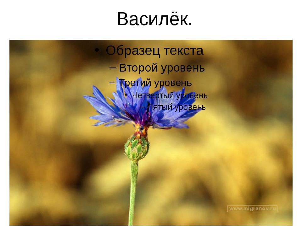 Василёк.