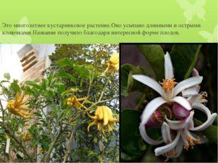 Это многолетнее кустарниковое растение.Оно усыпано длинными и острыми колючка