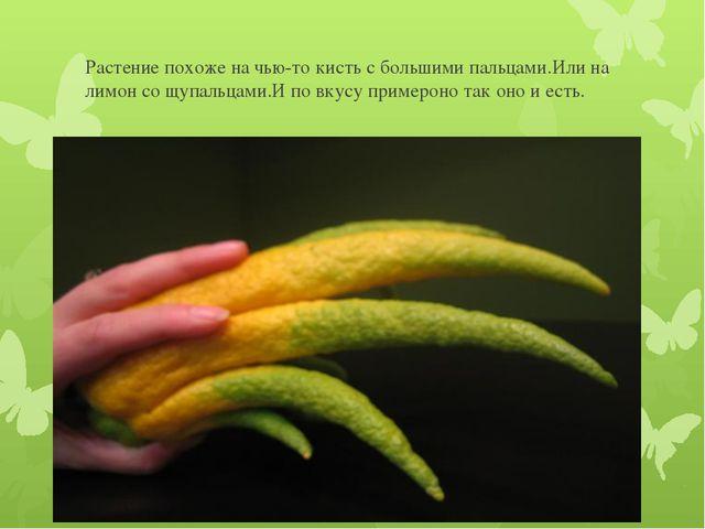 Растение похоже на чью-то кисть с большими пальцами.Или на лимон со щупальцам...