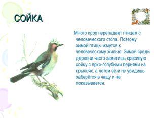 СОЙКА Много крох перепадает птицам с человеческого стола. Поэтому зимой птиц