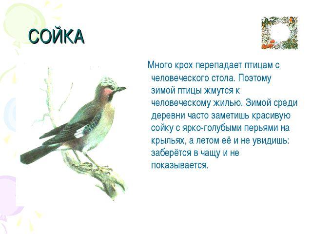 СОЙКА Много крох перепадает птицам с человеческого стола. Поэтому зимой птиц...