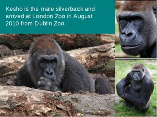 Kesho is the male silverback and arrived at London Zoo in August 2010 from Du