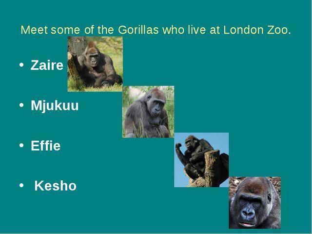 Meet some of the Gorillas who live at London Zoo. Zaire Mjukuu Effie Kesho
