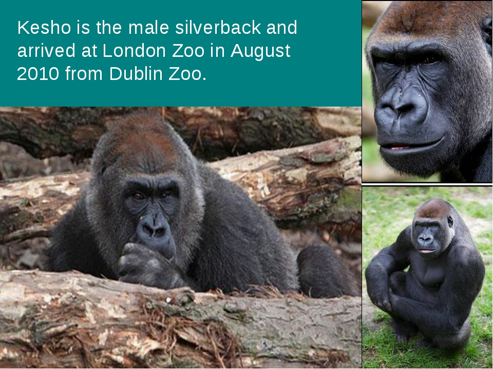 Kesho is the male silverback and arrived at London Zoo in August 2010 from Du...