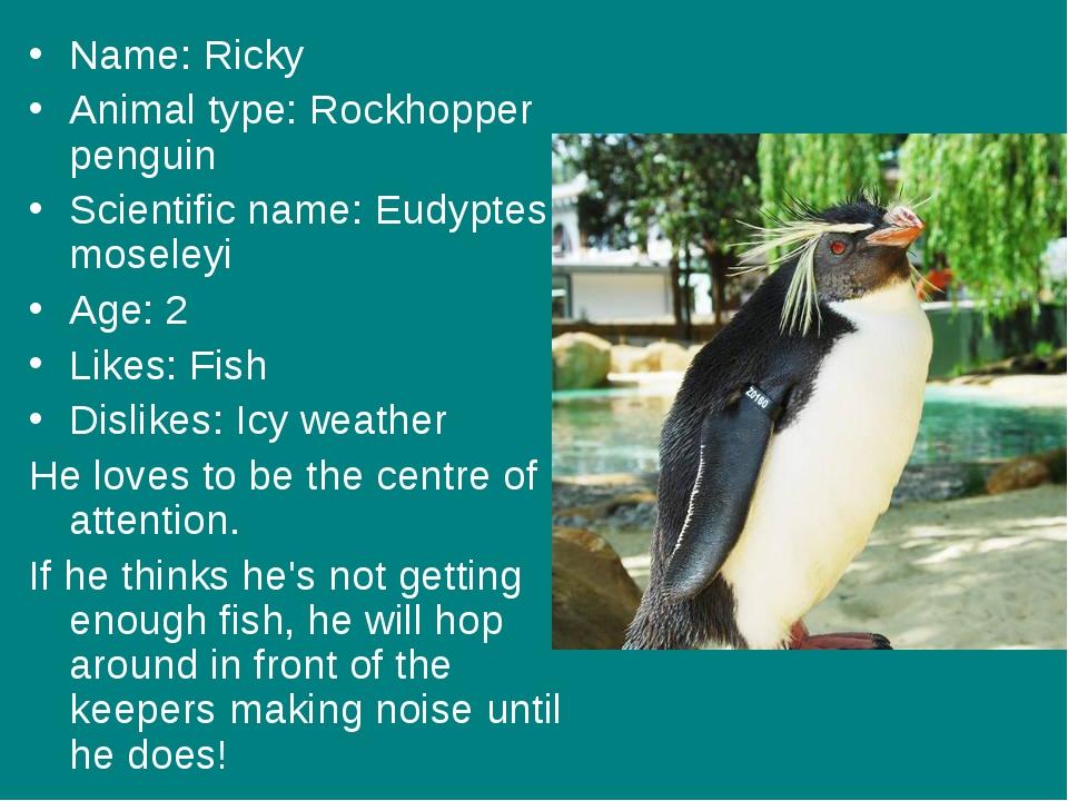 Name: Ricky Animal type: Rockhopper penguin Scientific name: Eudyptes mosele...
