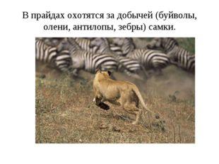 В прайдах охотятся за добычей (буйволы, олени, антилопы, зебры) самки.