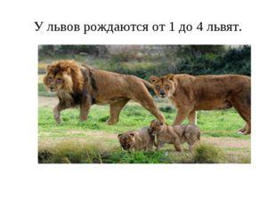 У львов рождаются от 1 до 4 львят.