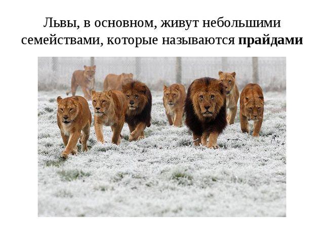 Львы, в основном, живут небольшими семействами, которые называются прайдами