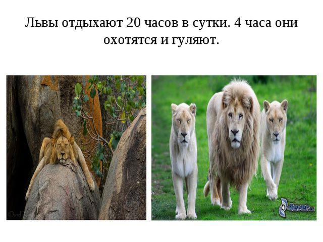 Львы отдыхают 20 часов в сутки. 4 часа они охотятся и гуляют.