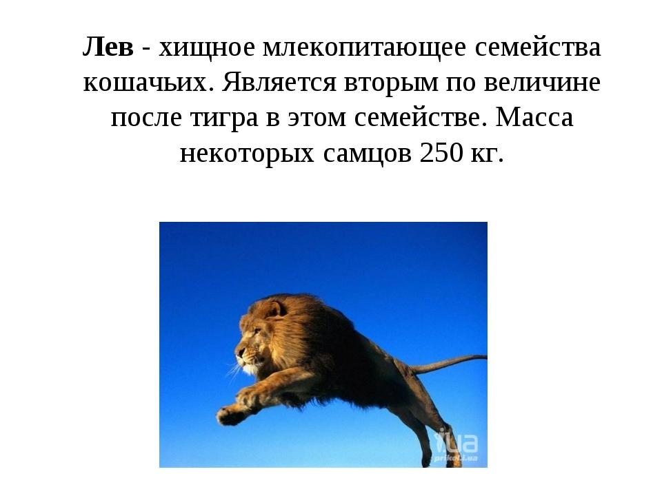 Лев - хищное млекопитающее семейства кошачьих. Является вторым по величине по...