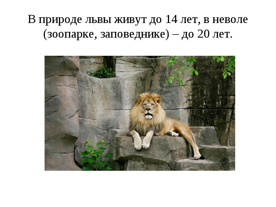 В природе львы живут до 14 лет, в неволе (зоопарке, заповеднике) – до 20 лет.