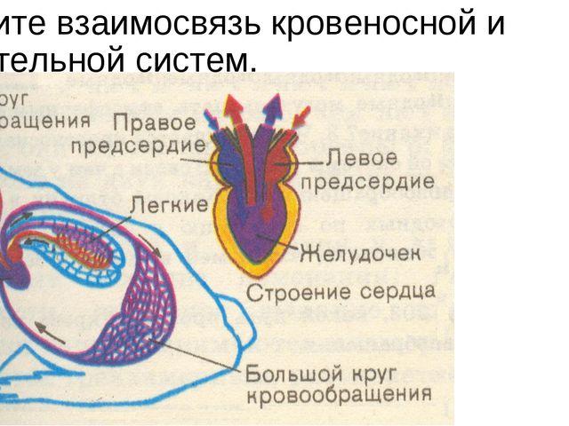 Укажите взаимосвязь кровеносной и дыхательной систем.