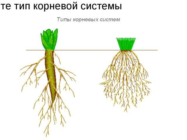 Укажите тип корневой системы