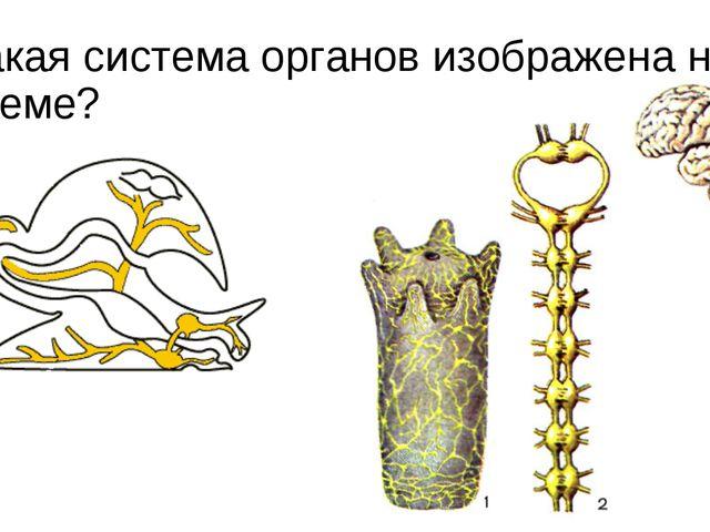 Какая система органов изображена на схеме?