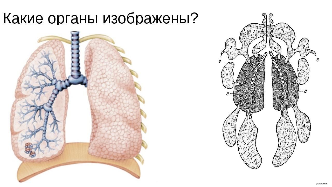 Какие органы изображены?