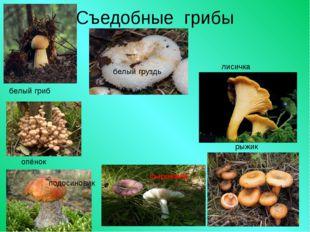 Съедобные грибы белый гриб белый груздь лисичка опёнок подосиновик рыжик сыро