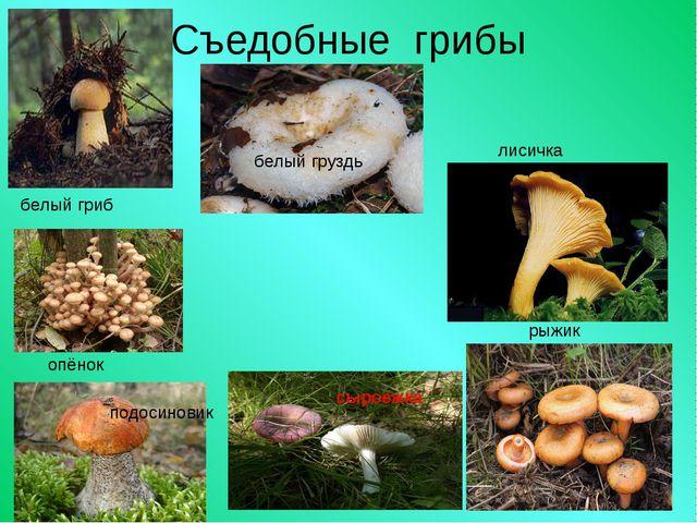 Съедобные грибы белый гриб белый груздь лисичка опёнок подосиновик рыжик сыро...