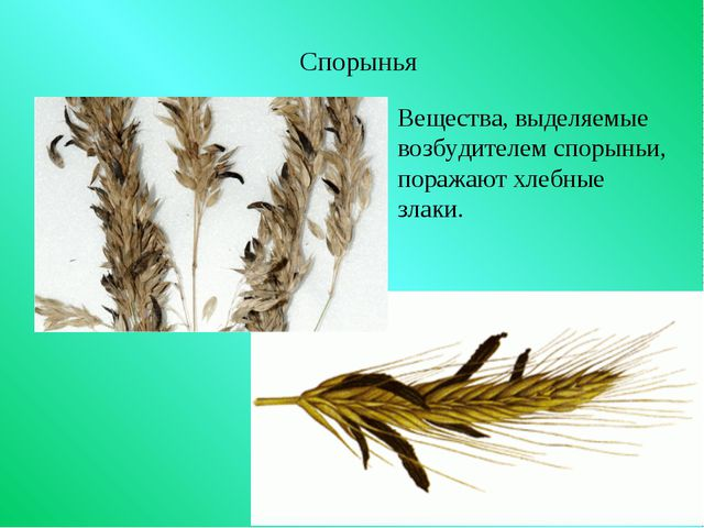 Спорынья Вещества, выделяемые возбудителем спорыньи, поражают хлебные злаки.