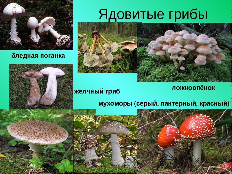 Ядовитые грибы бледная поганка ложноопёнок мухоморы (серый, пантерный, красны...