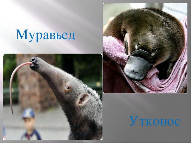 Муравьед Утконос