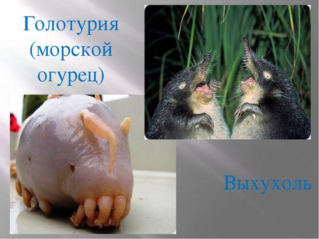 Голотурия (морской огурец) Выхухоль