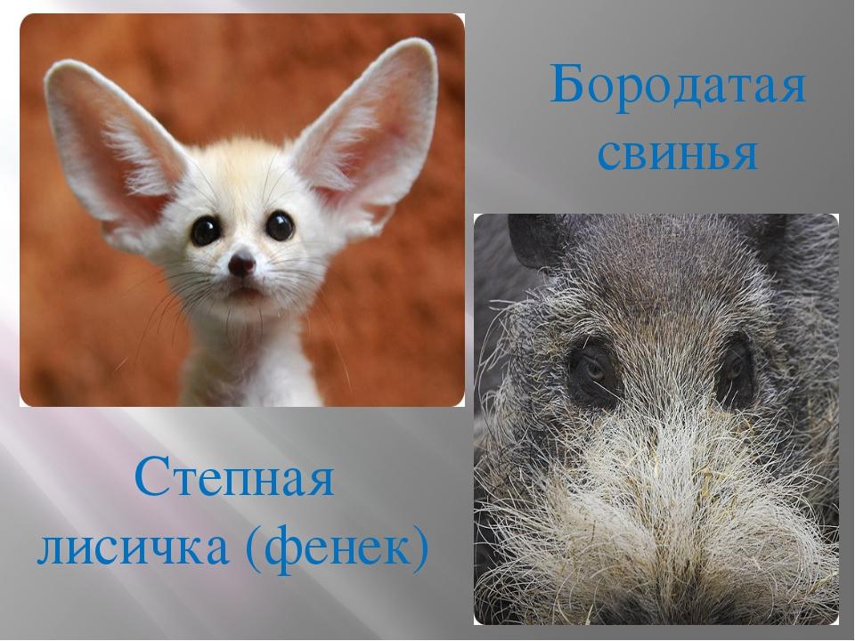Степная лисичка (фенек) Бородатая свинья