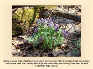Цветки хохлатки плотной собраны в кисти, имеют приятный запах и богаты нектар