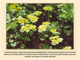 У весенних ручьев, в сырых лесах встречается селезеночник. Отличительной особ
