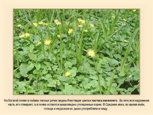 На богатой почве в поймах лесных речек видны блестящие цветки чистяка весенне