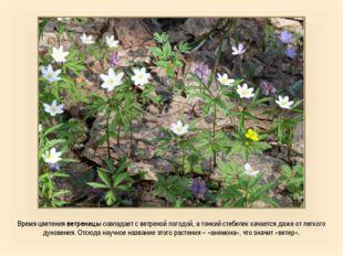 Время цветения ветреницы совпадает с ветреной погодой, а тонкий стебелек кача