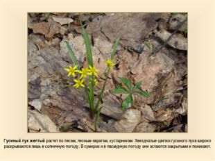 Гусиный лук желтый растет по лесам, лесным оврагам, кустарникам. Звездчатые ц