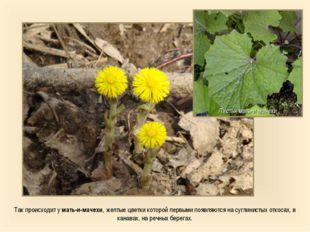 Так происходит у мать-и-мачехи, желтые цветки которой первыми появляются на с